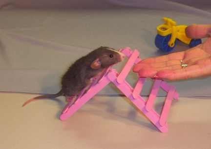 Little Mac on the Hamster Agility Equipment A-Frame